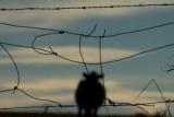 Беременной коровы был приговорен к смерти за незаконное пересечение границы с ЕС